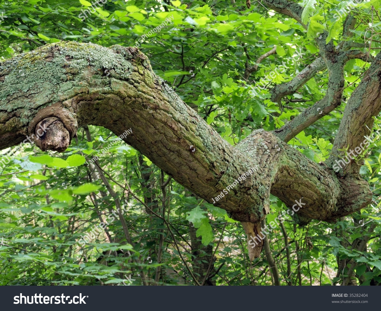 Oak Wood Branches ~ Branch oak tree wood england stock photo