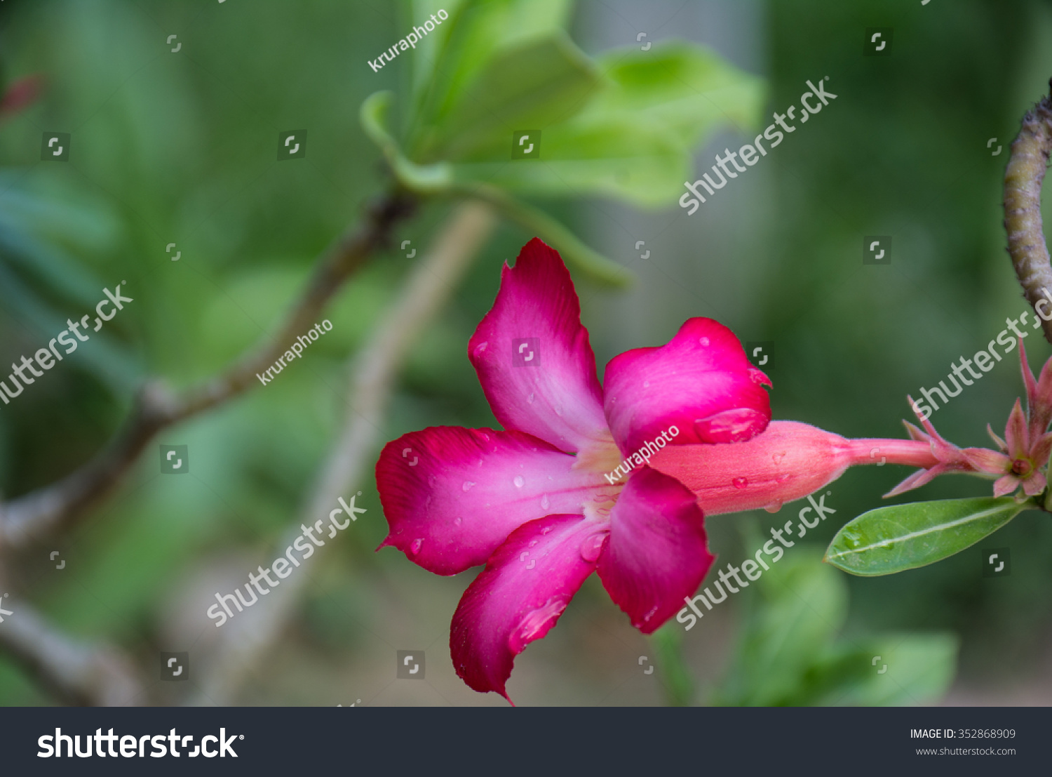 Pink desert rose or impala lily flower and closed up desert rose id 352868909 izmirmasajfo