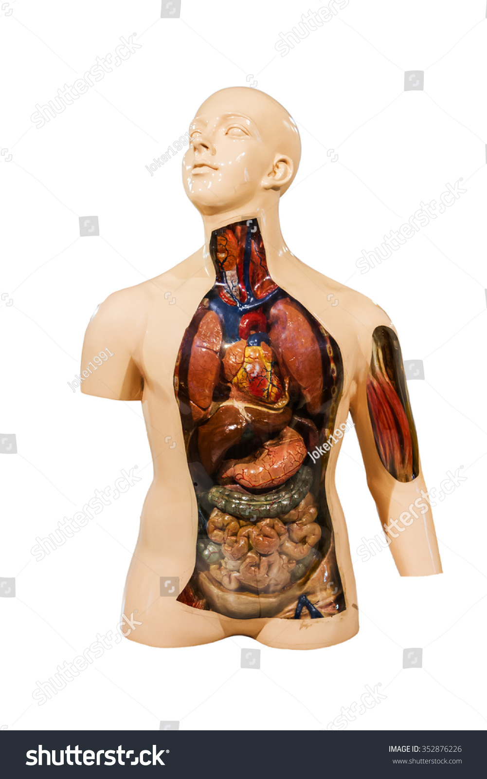 Human Anatomy Mannequin On White Isolate Stock Photo Edit Now
