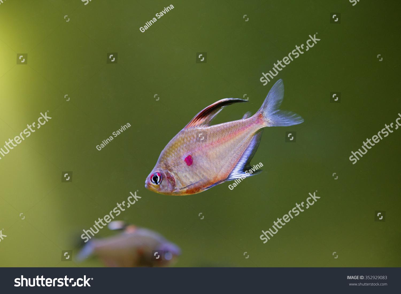 Fish aquarium red spots -