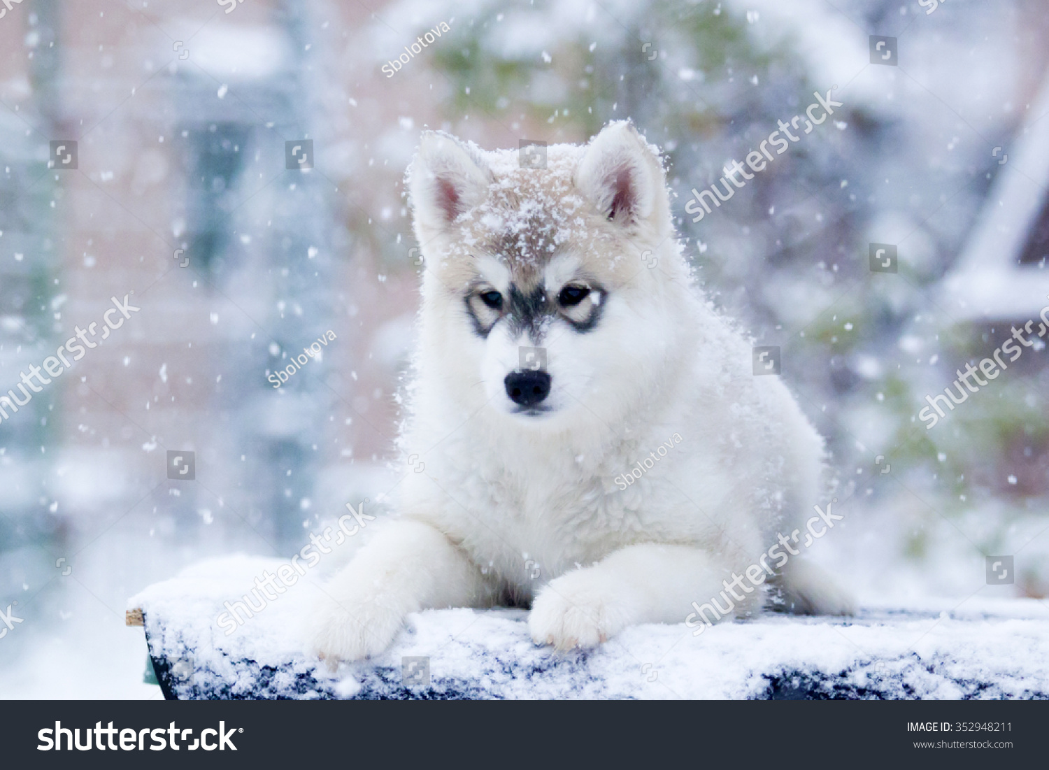 Siberian Husky Puppy Snow Stock Photo Edit Now 352948211