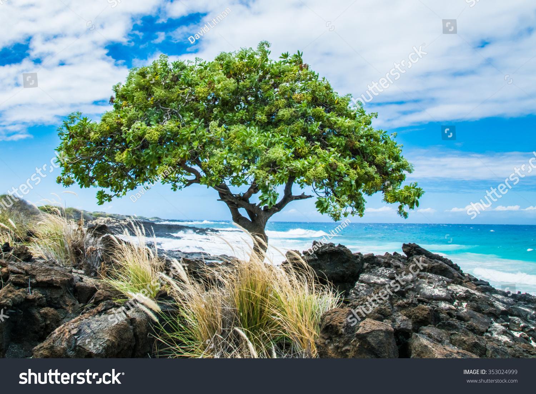 A Beach Heliotrope Tree (Heliotropium foertherianum), along the shore of lava rock near Kailua Kona, on the Big Island of Hawaii.  Not native to Hawaii, these trees were introduced in modern times.