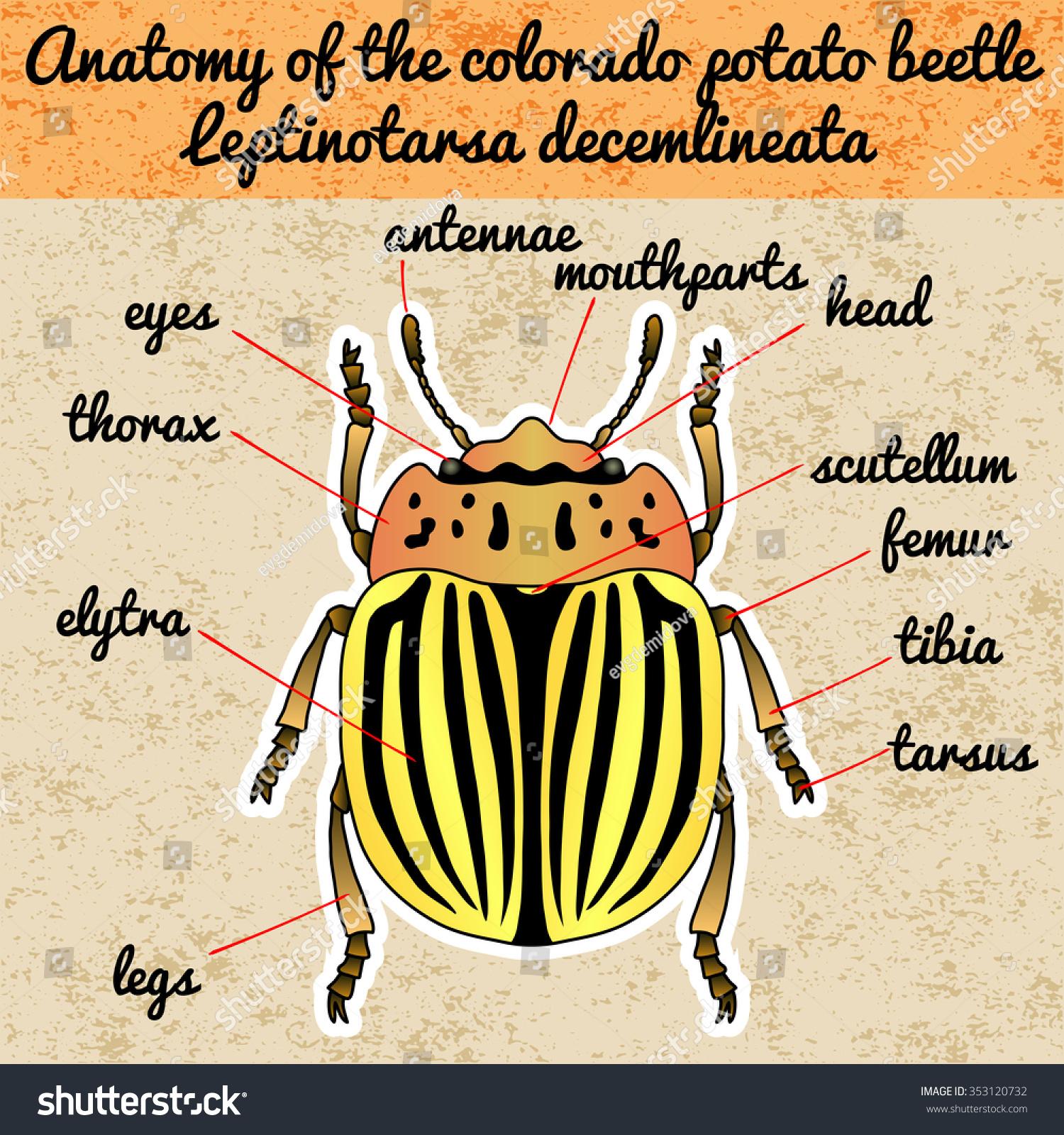 Insect Anatomy Sticker Colorado Potato Beetle Stock Photo (Photo ...