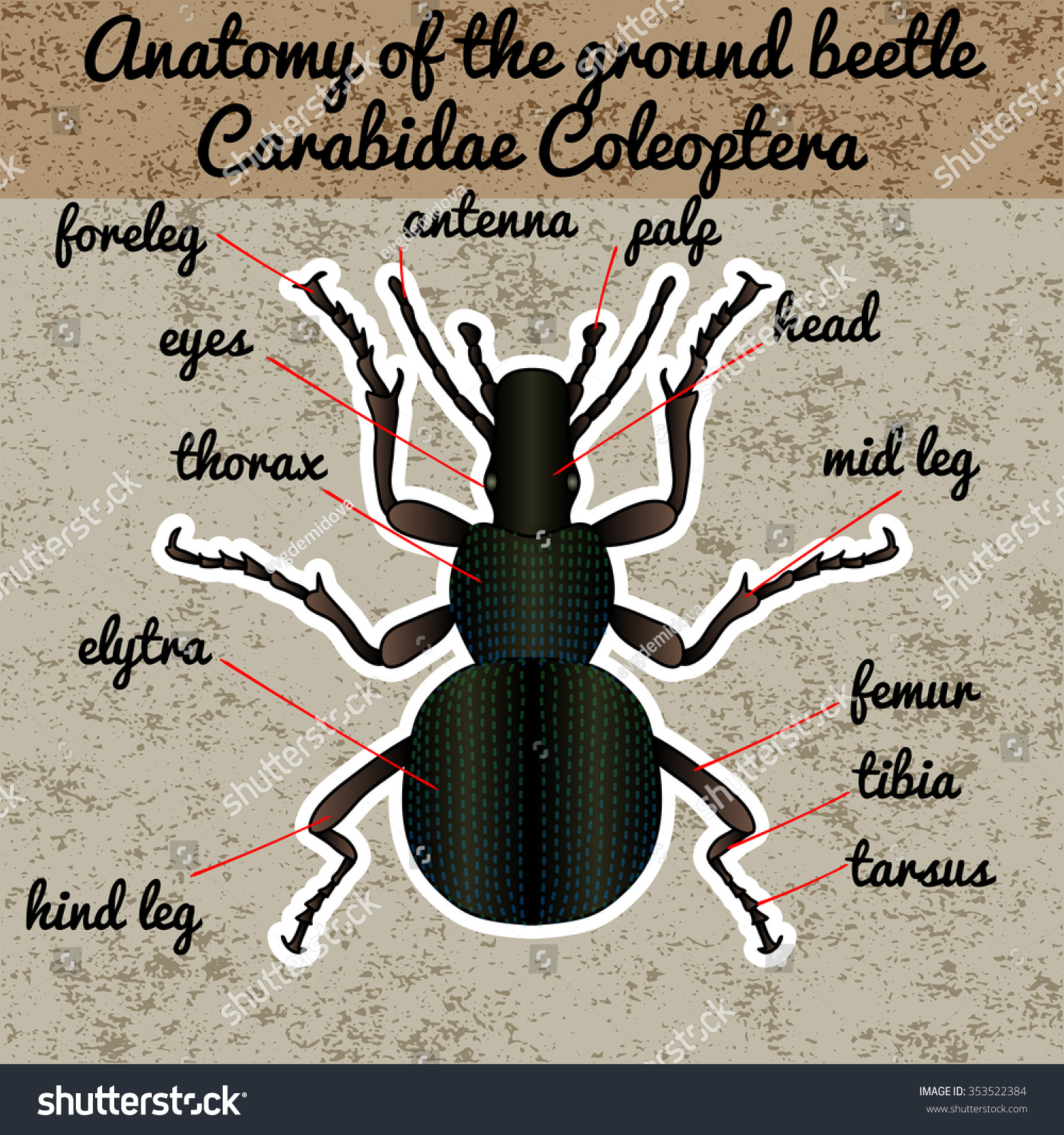 Insect Anatomy Sticker Ground Beetle Bug Stock Vector 353522384 ...