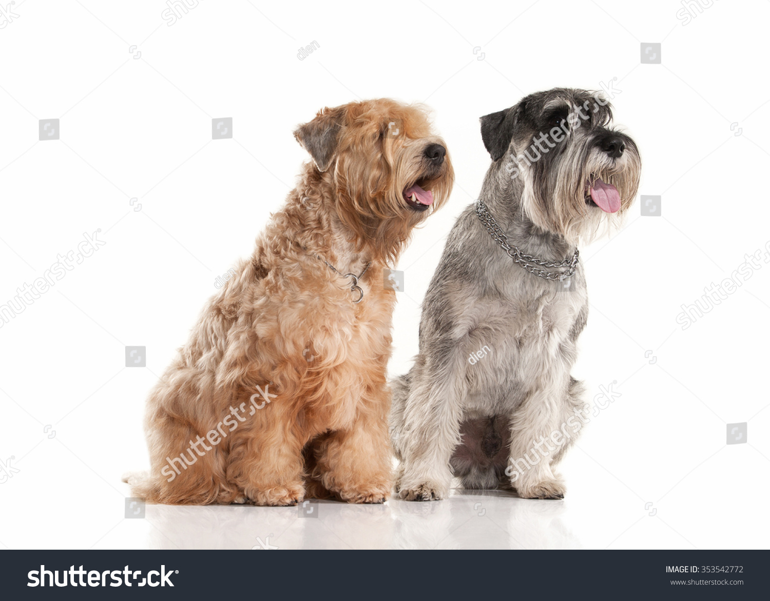 Miniature Schnauzer Irish Soft Coated Wheaten Animals Wildlife Stock Image 353542772