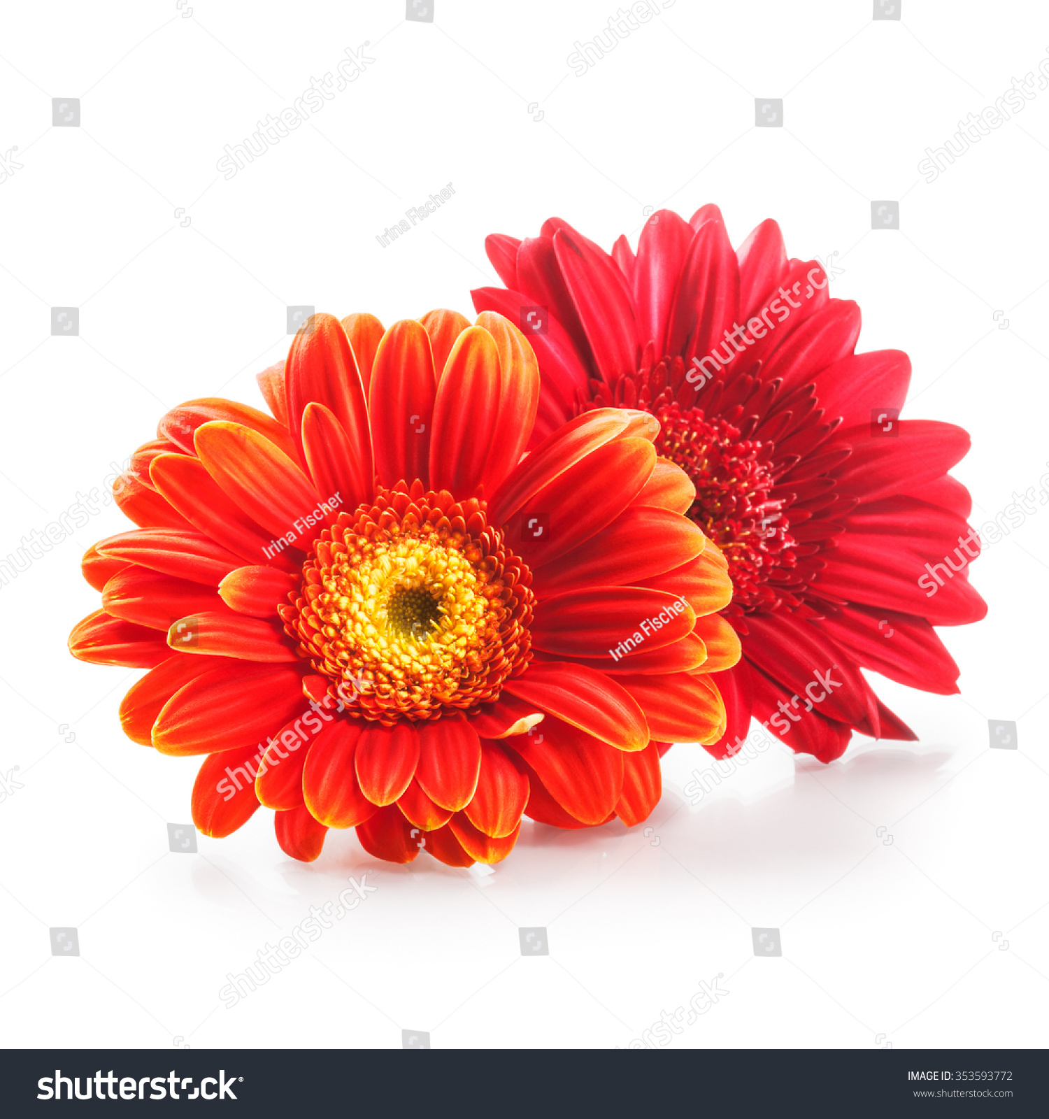 Two Gerbera Daisy Flower Heads Isolated On White Background Design
