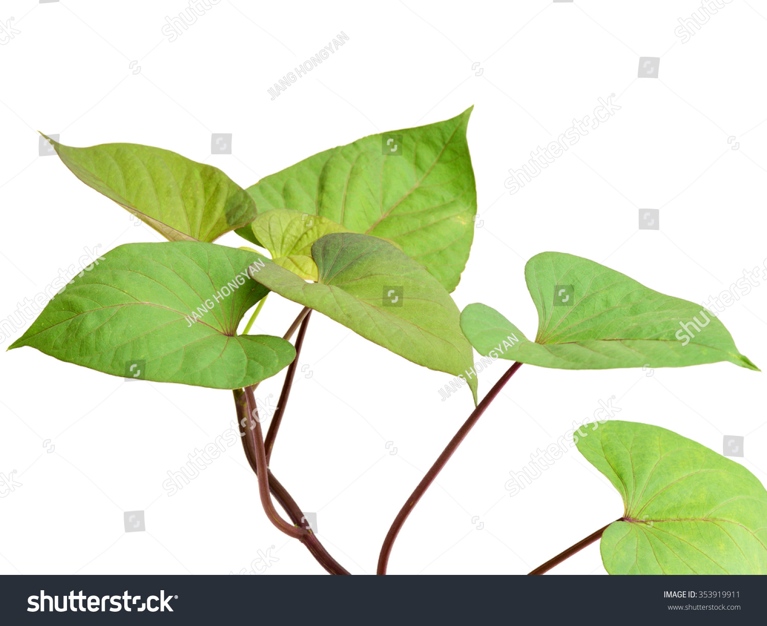 Leaf Of Sweet Potato On White Background Stock Photo 353919911 ...