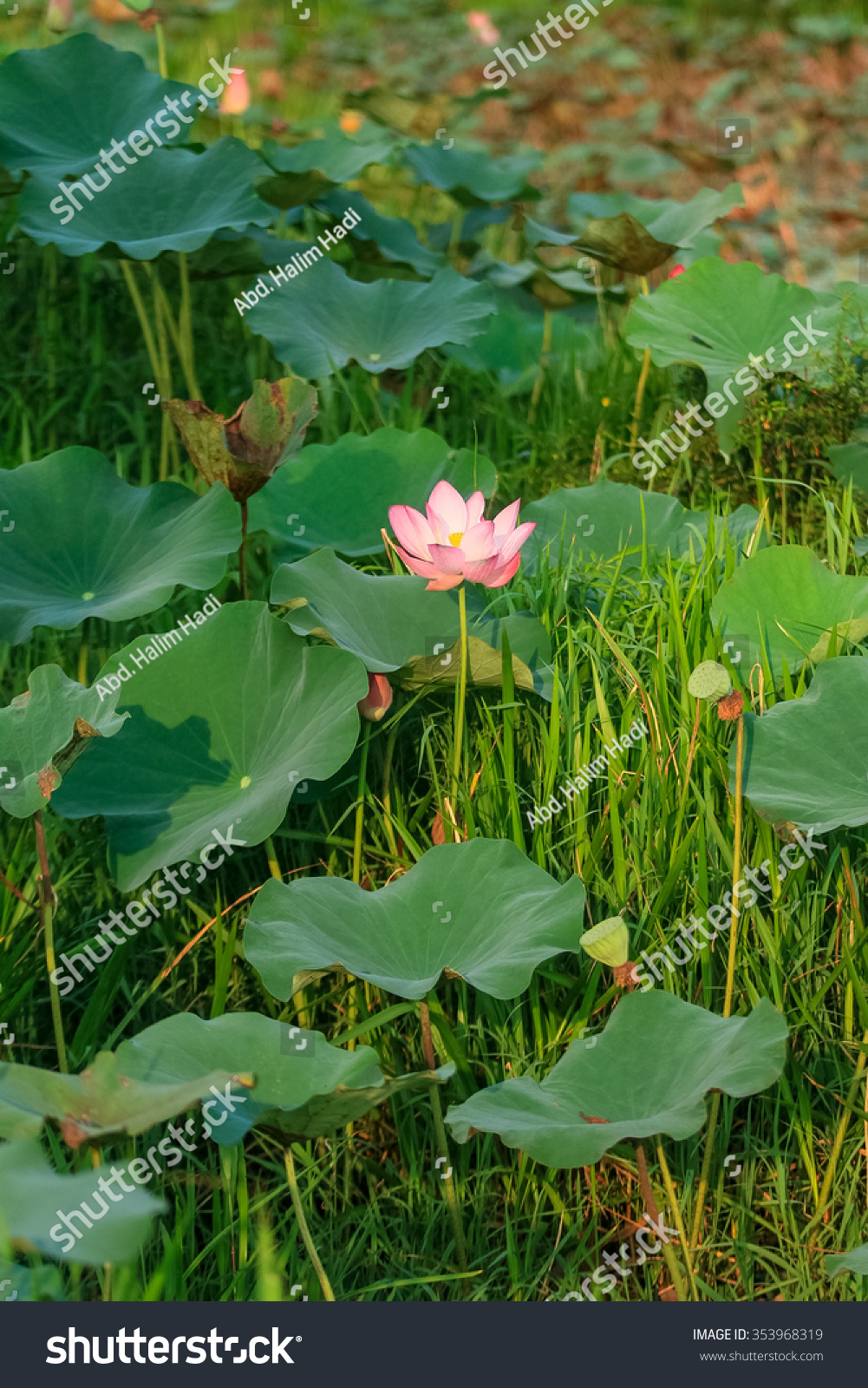 Lotus flower natural habitat stock photo royalty free 353968319 lotus flower in its natural habitat mightylinksfo Image collections