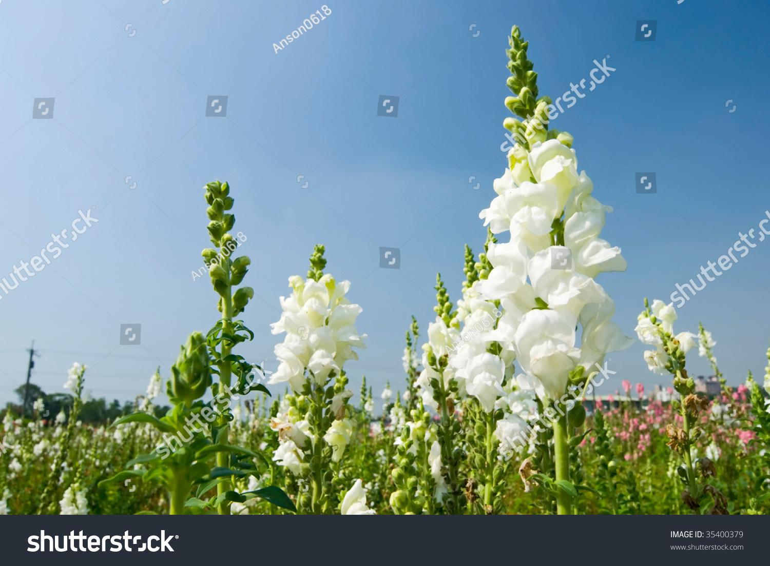White Flowers Field Under Blue Sky Stock Photo Royalty Free