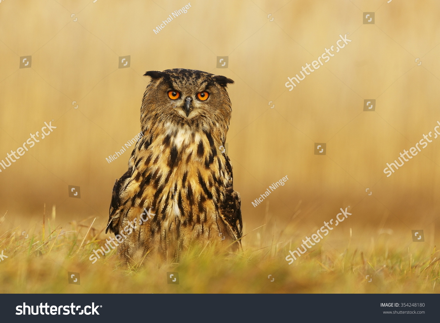 eagle owl stretches his neck