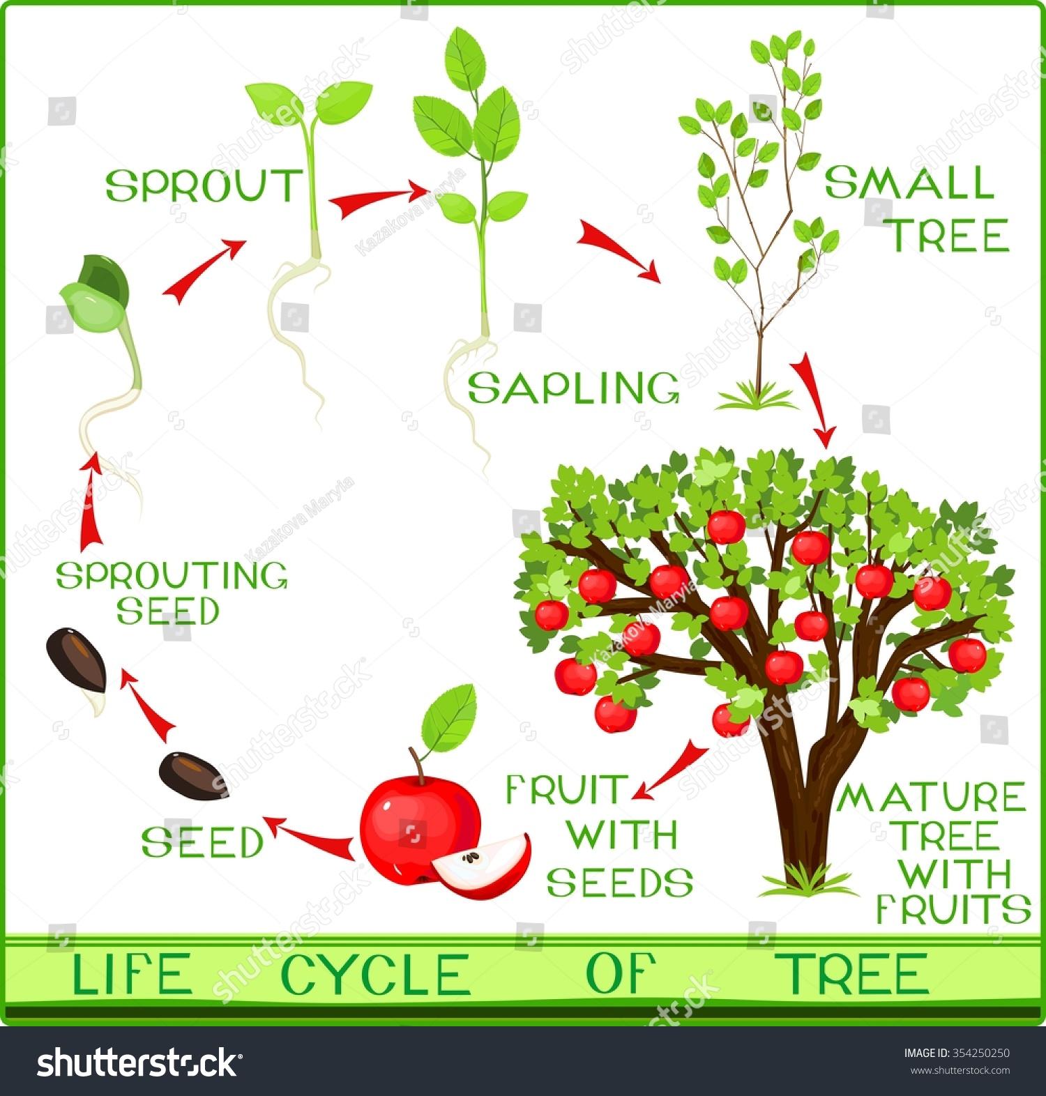 Seed Germination Diagram