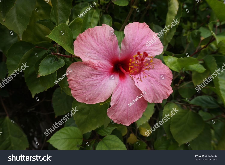 Jamaican pink hibiscus flower stock photo 354332723 shutterstock jamaican pink hibiscus flower izmirmasajfo Choice Image