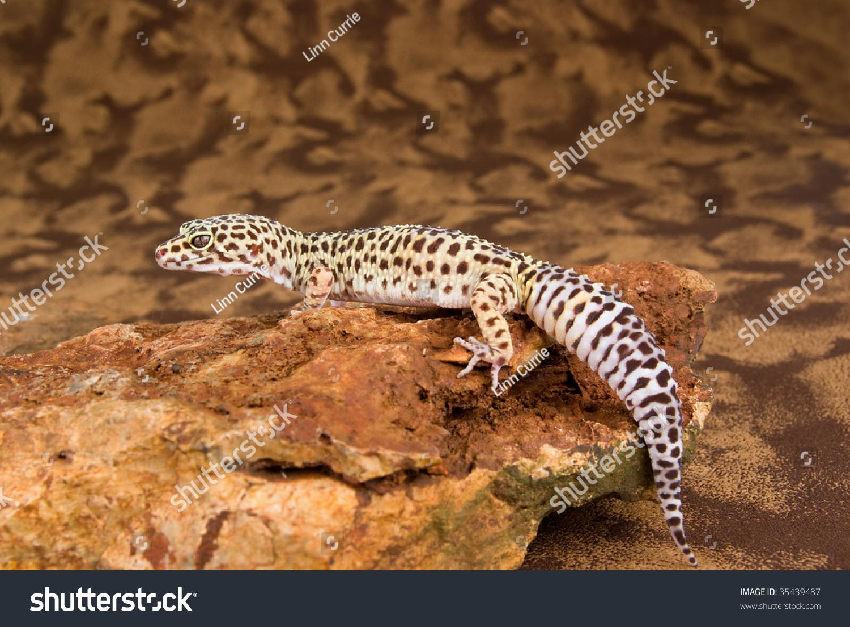Pics of adult leopard geckos not