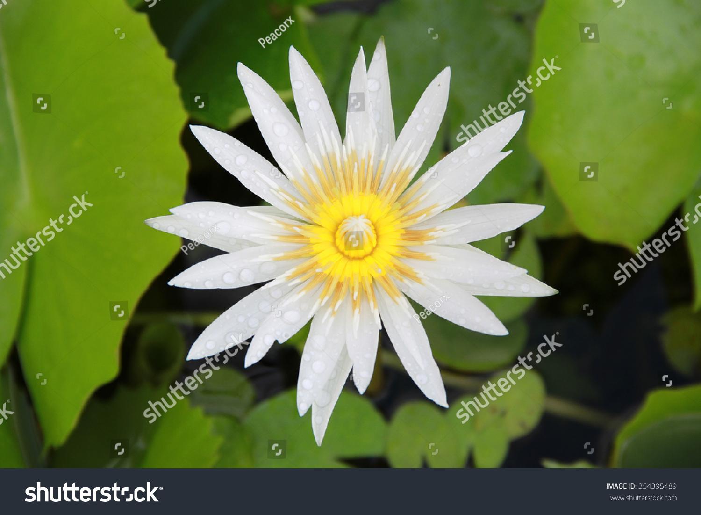 Bright White Lotus Flower Top View Stock Photo Edit Now 354395489