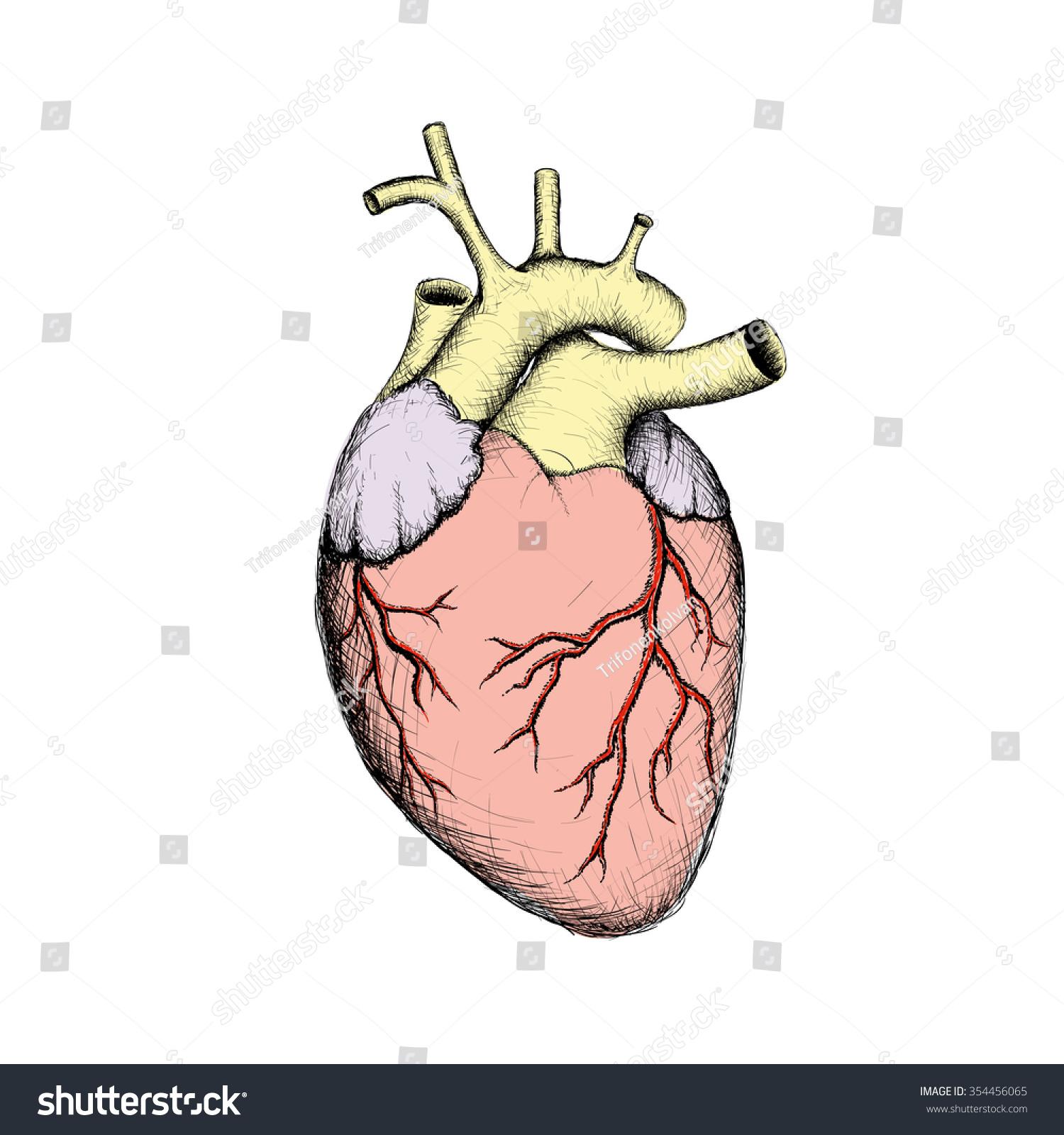 Human Heart Internal Organs Anatomy Stock Stock Illustration ...