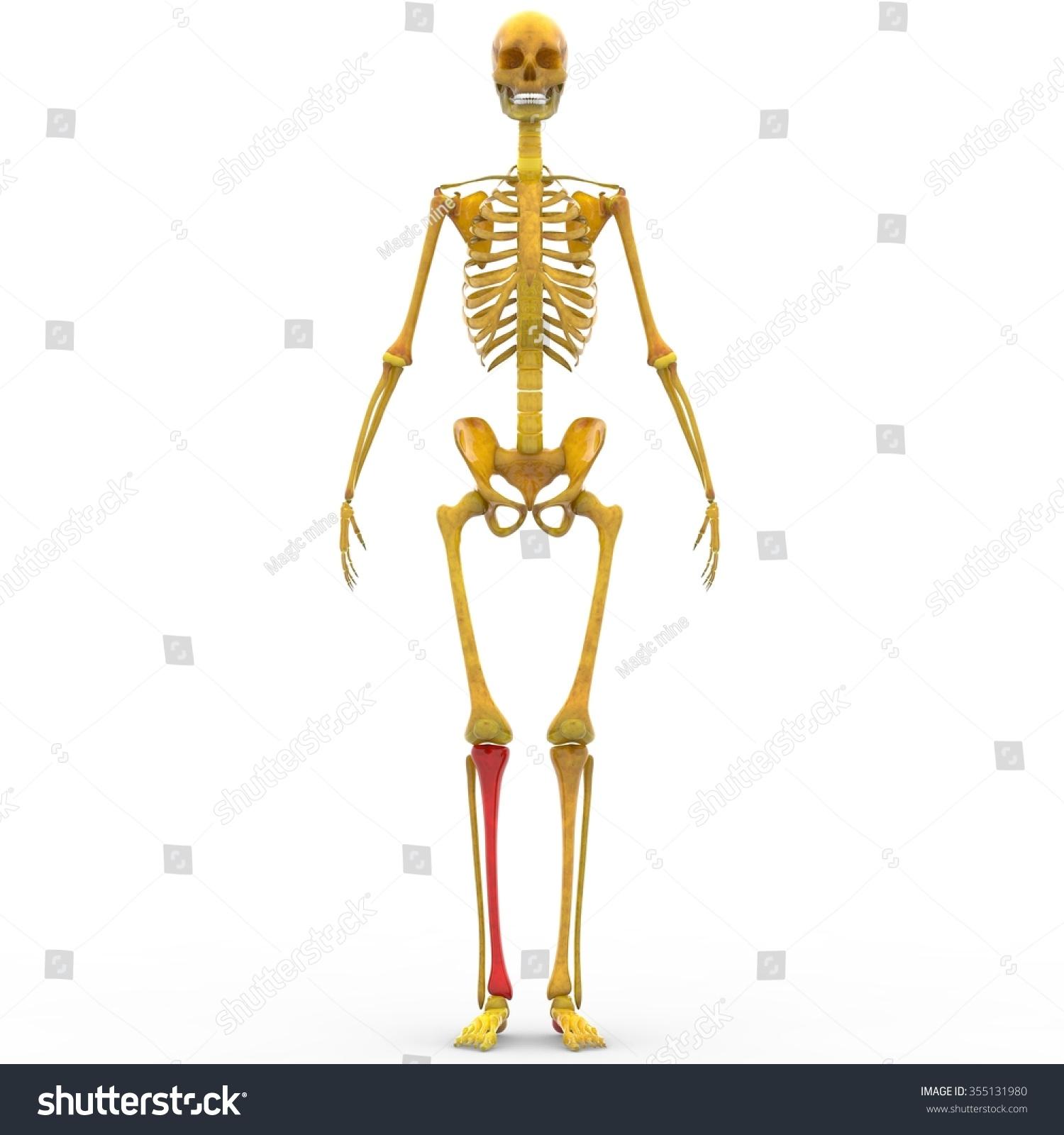 human skeleton tibia joint stock illustration 355131980 - shutterstock, Skeleton