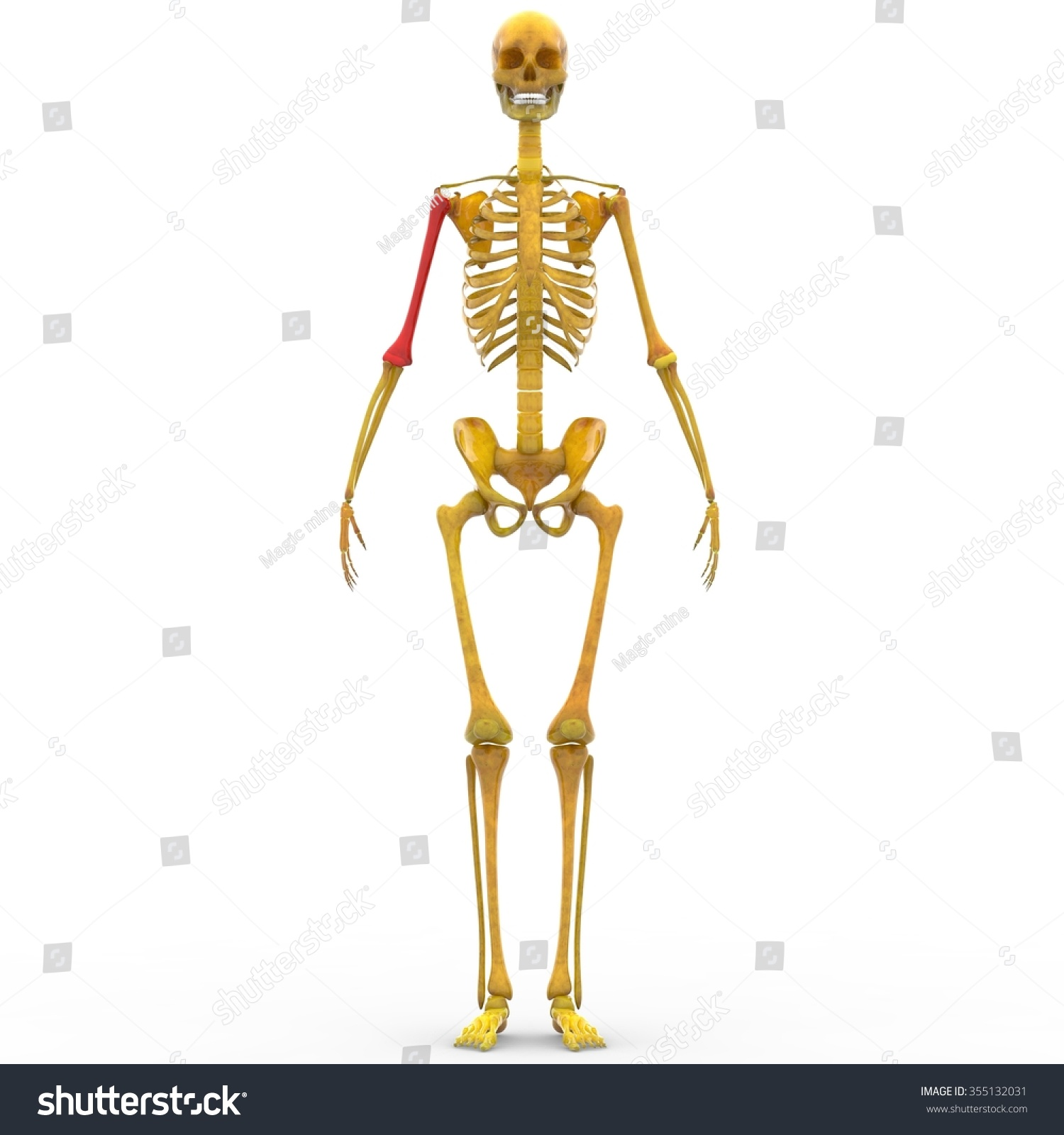 Human Skeleton Humerus Bone Stock Illustration 355132031 Shutterstock