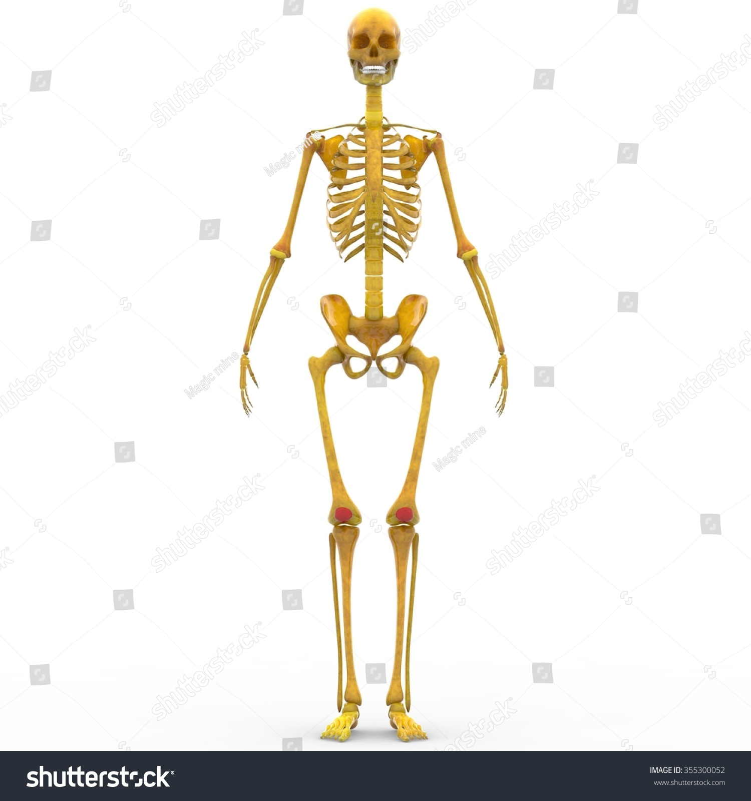 Human Skeleton Patella Bones Stock Illustration 355300052 - Shutterstock