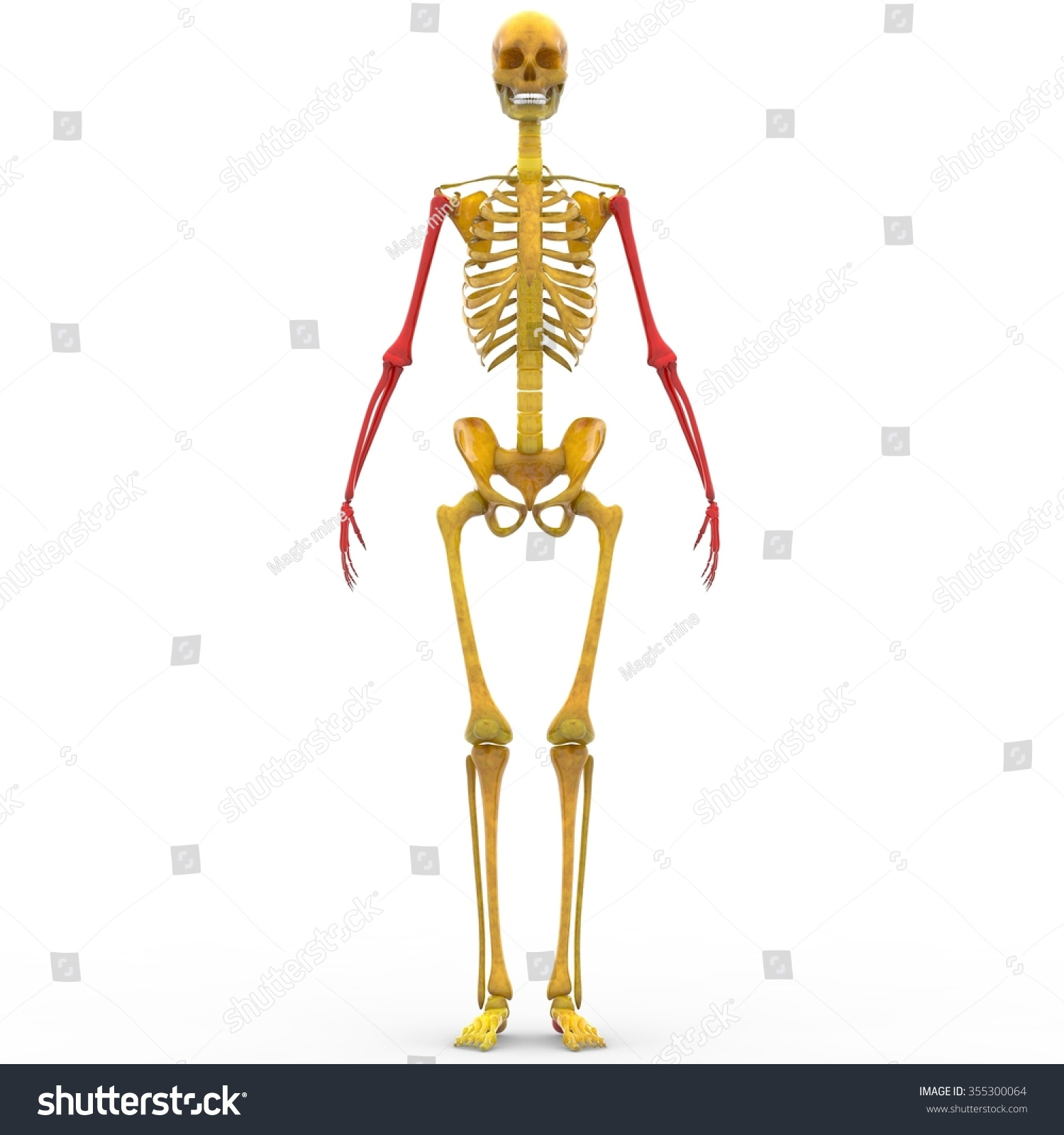 human skeleton humerus radius ulna hand stock illustration, Skeleton