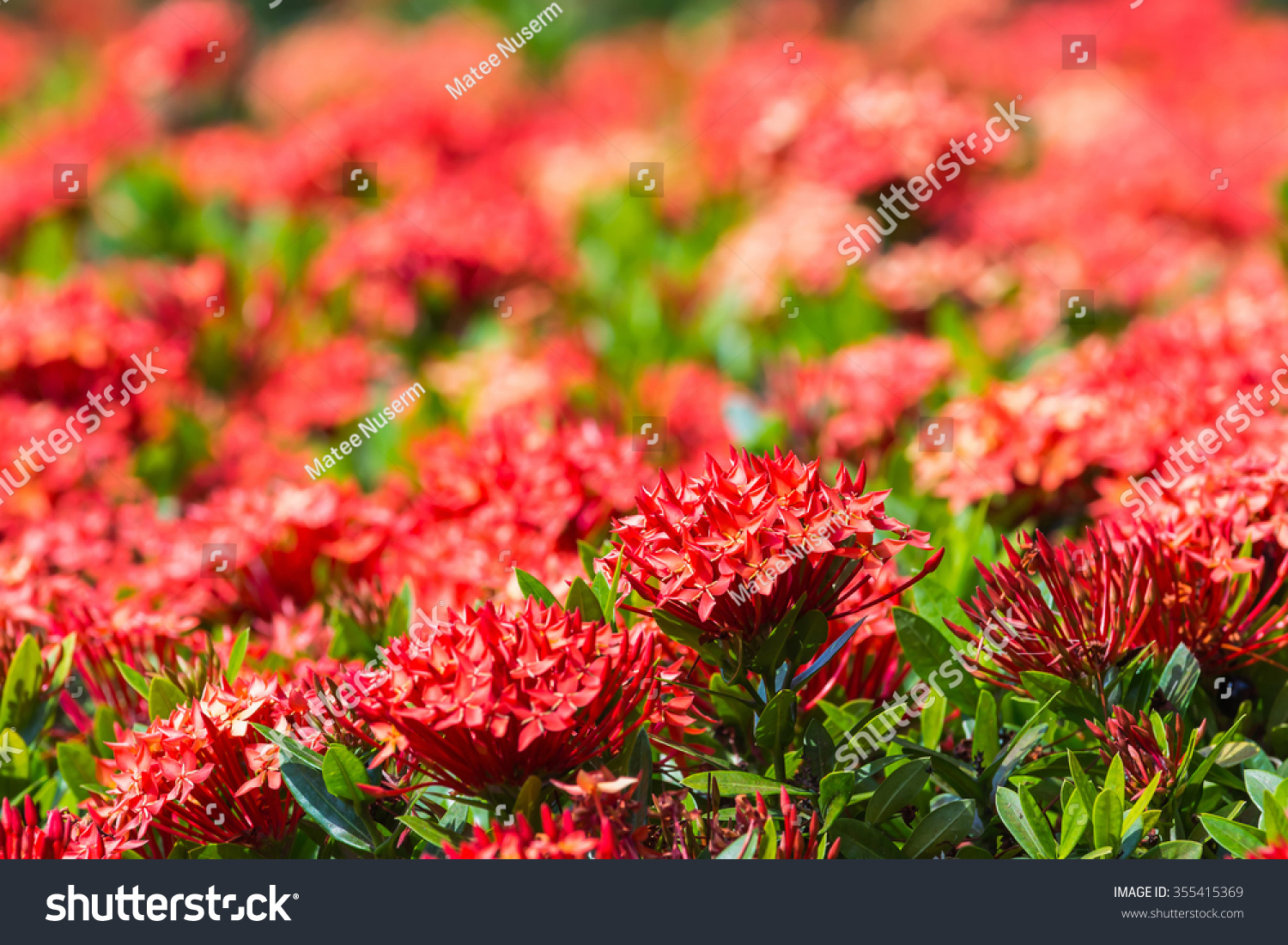 Close up of red ixora or west indian jasmine flower ez canvas id 355415369 izmirmasajfo