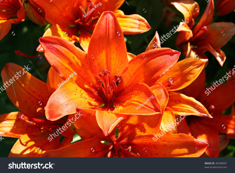 Tiger lily flower taken closeup ez canvas id 35548597 izmirmasajfo