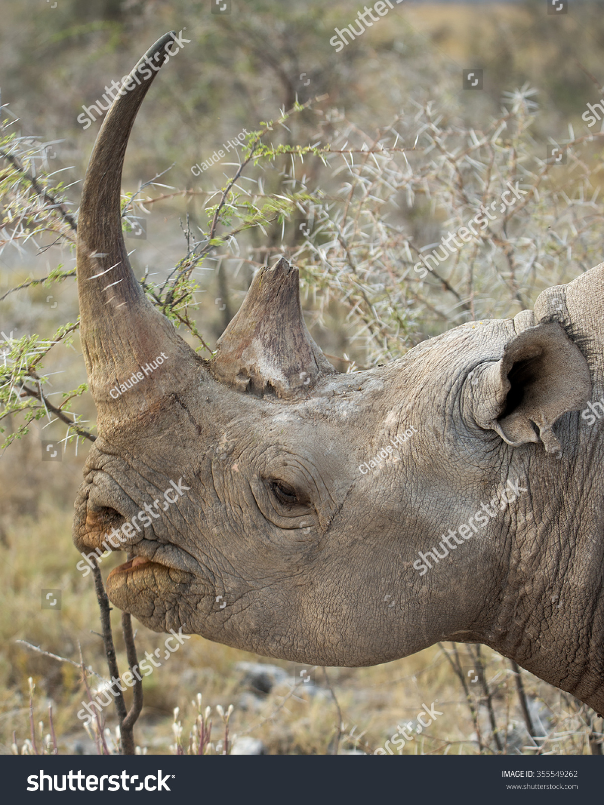 Head of Black Rhinoceros (Diceros bicornis) feeding on bush leaves on the side of the road in Etosha National Park, Namibia