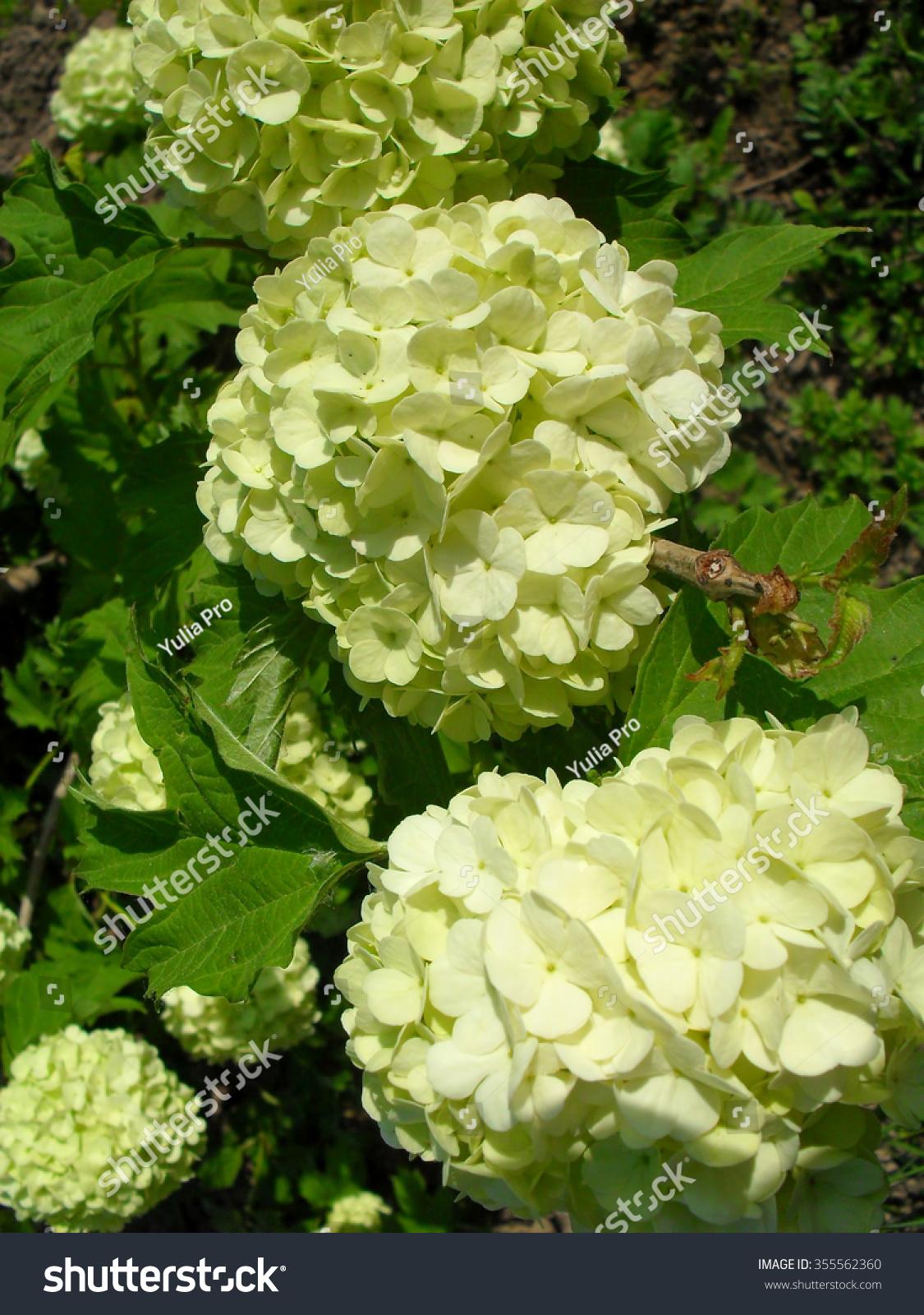 Kalina Shrub With Large Ball Shaped White Flowers Photo Closeup