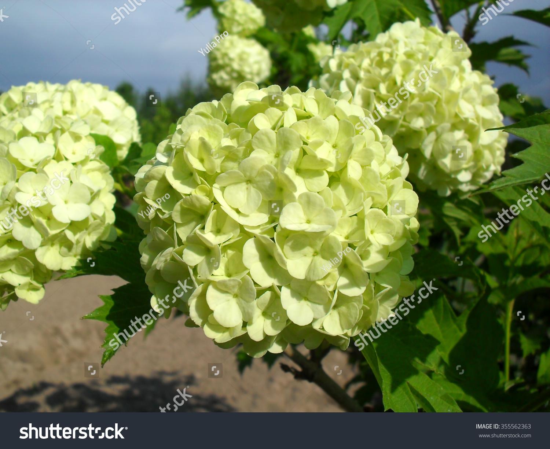 Kalina Shrub Large Ballshaped White Flowers Stock Photo Edit Now