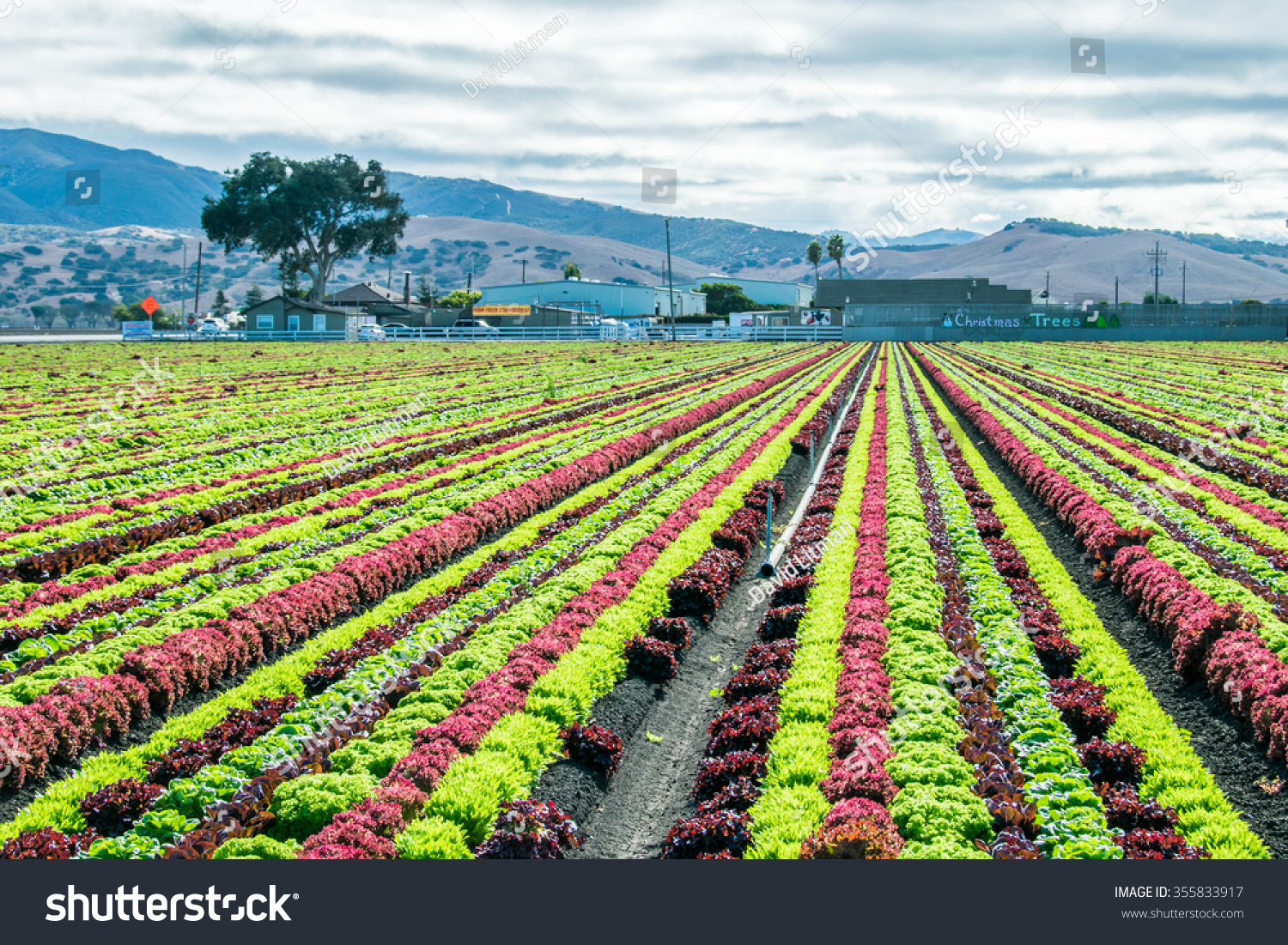 Rainbow of colorful (colourful) fields of summer crops (lettuce plants), including mixed green, red, purple varieties, grow in rows in Salinas Valley of Central California (United States, America).