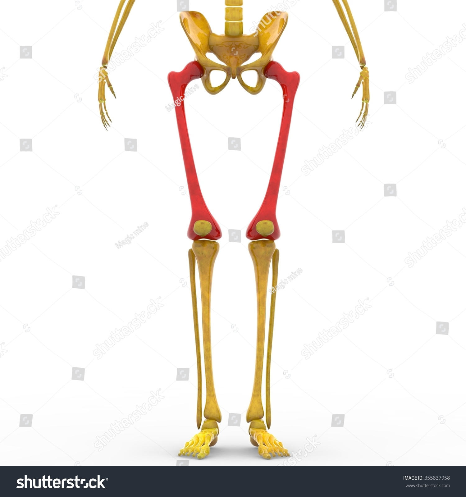 Human Skeleton Femur Bones Stock Illustration 355837958 Shutterstock