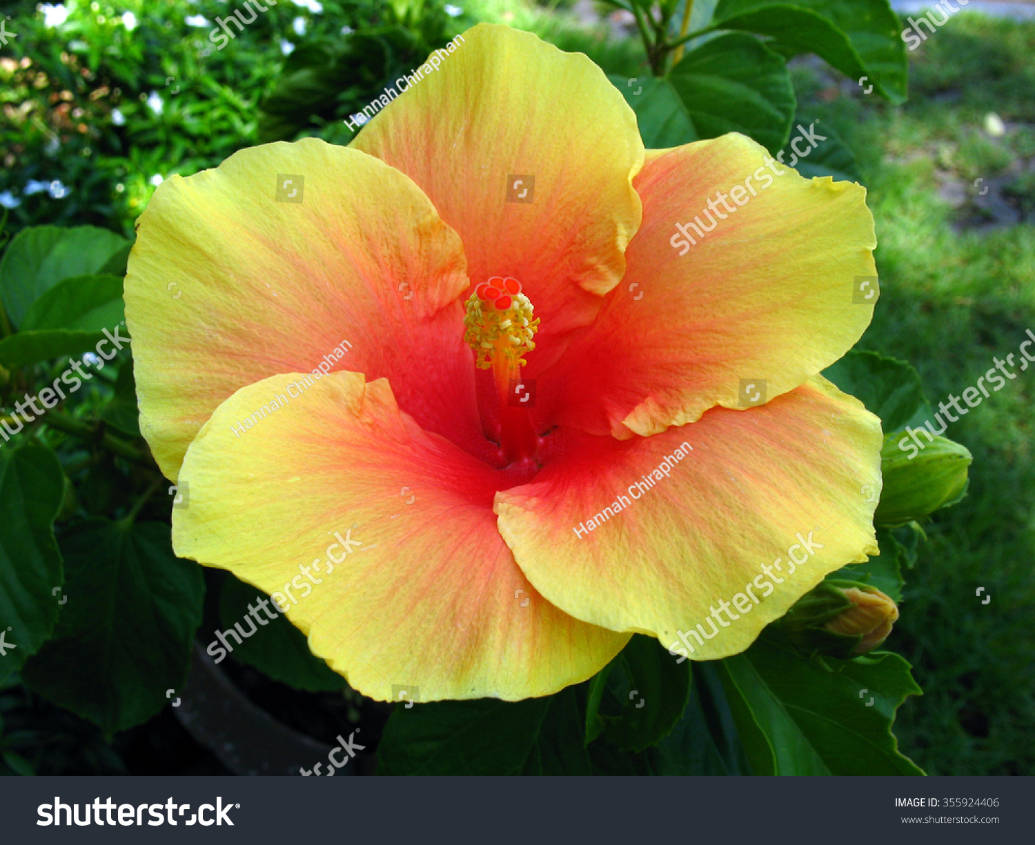 Close Yellow Hibiscus Flower Big Yellow Stock Photo Royalty Free