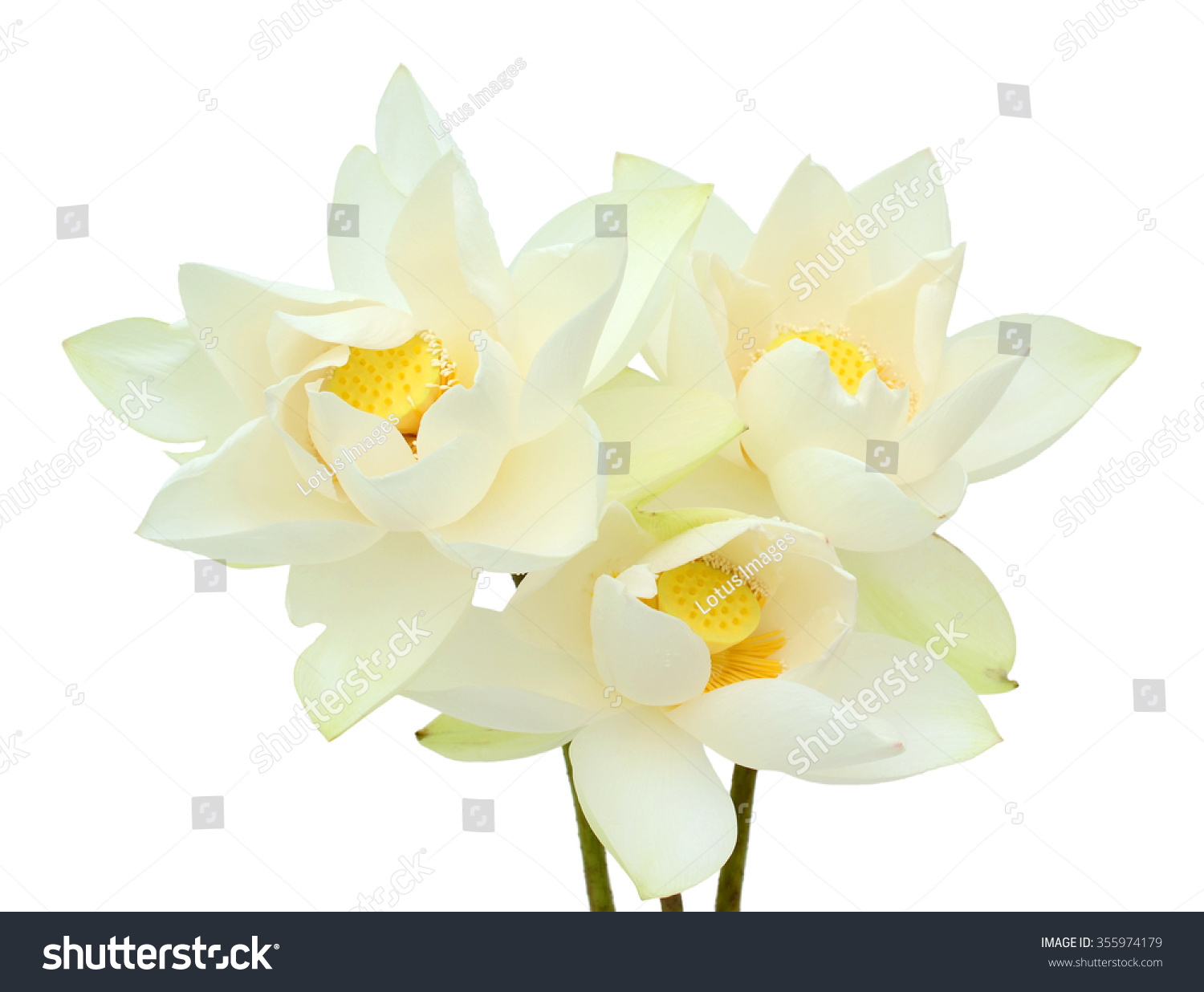 Beautiful White Lotus Flower Bouquet Isolated Stock Photo Edit Now