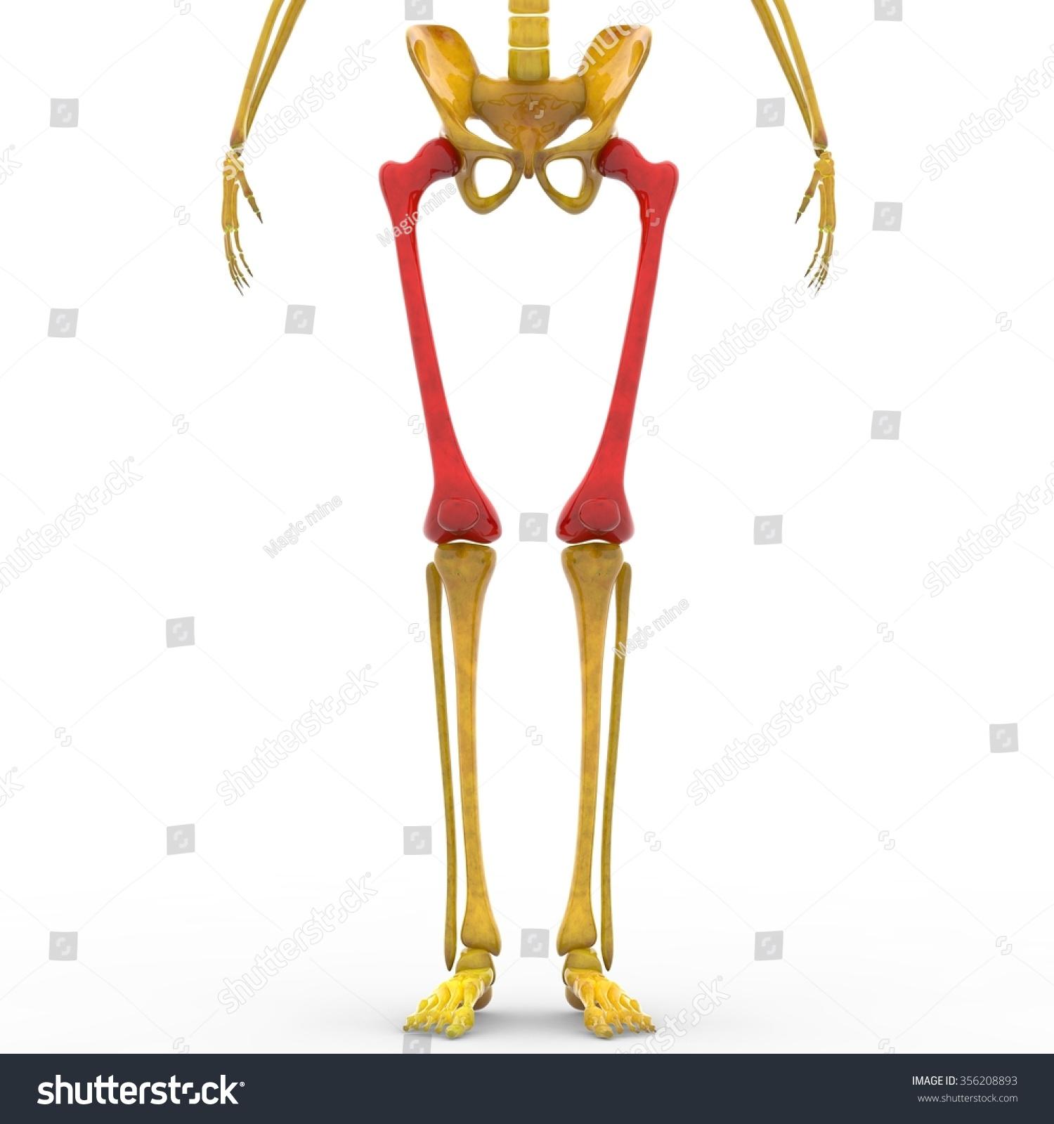 Human Skeleton Femur Patella Bones Stock Illustration 356208893 ...