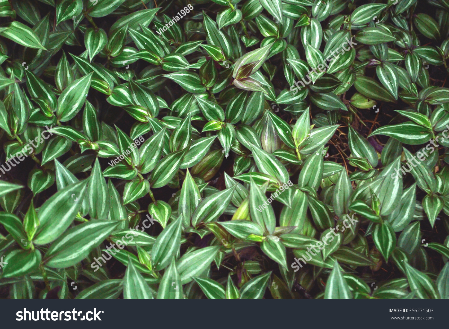 Lush foliage of wandering jew plant scientific name tradescantia zebrina a species of - Wandering jew plant name ...