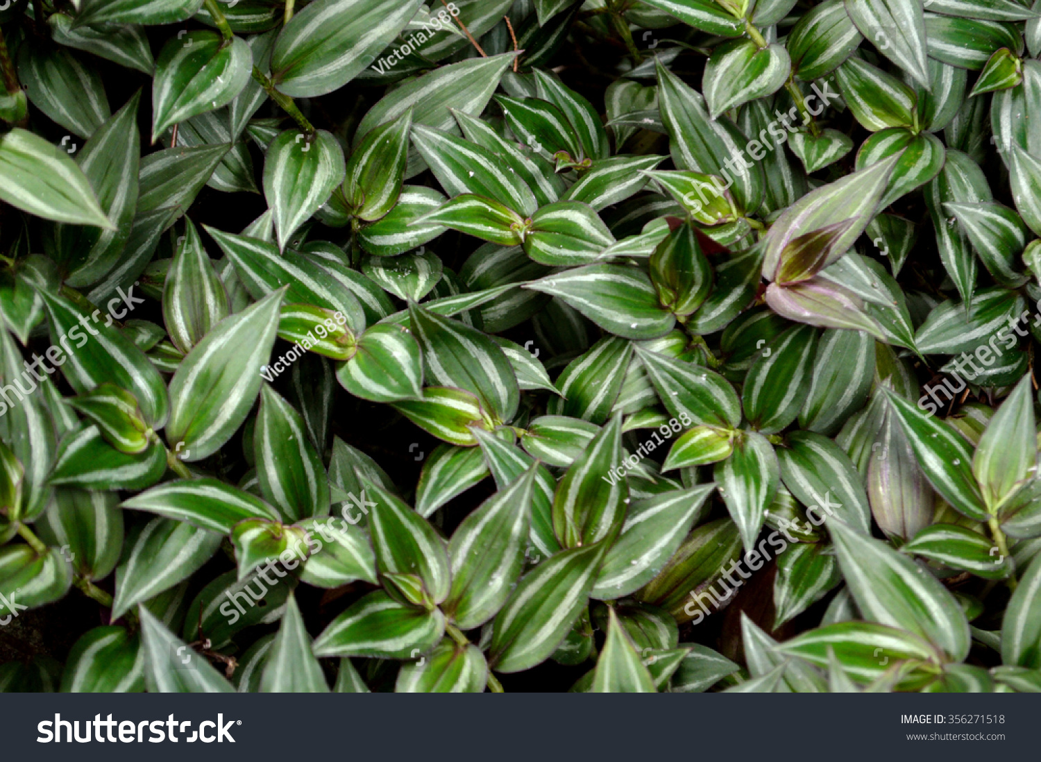 Lush foliage wandering jew plant scientific stock photo 356271518 shutterstock - Wandering jew plant name ...
