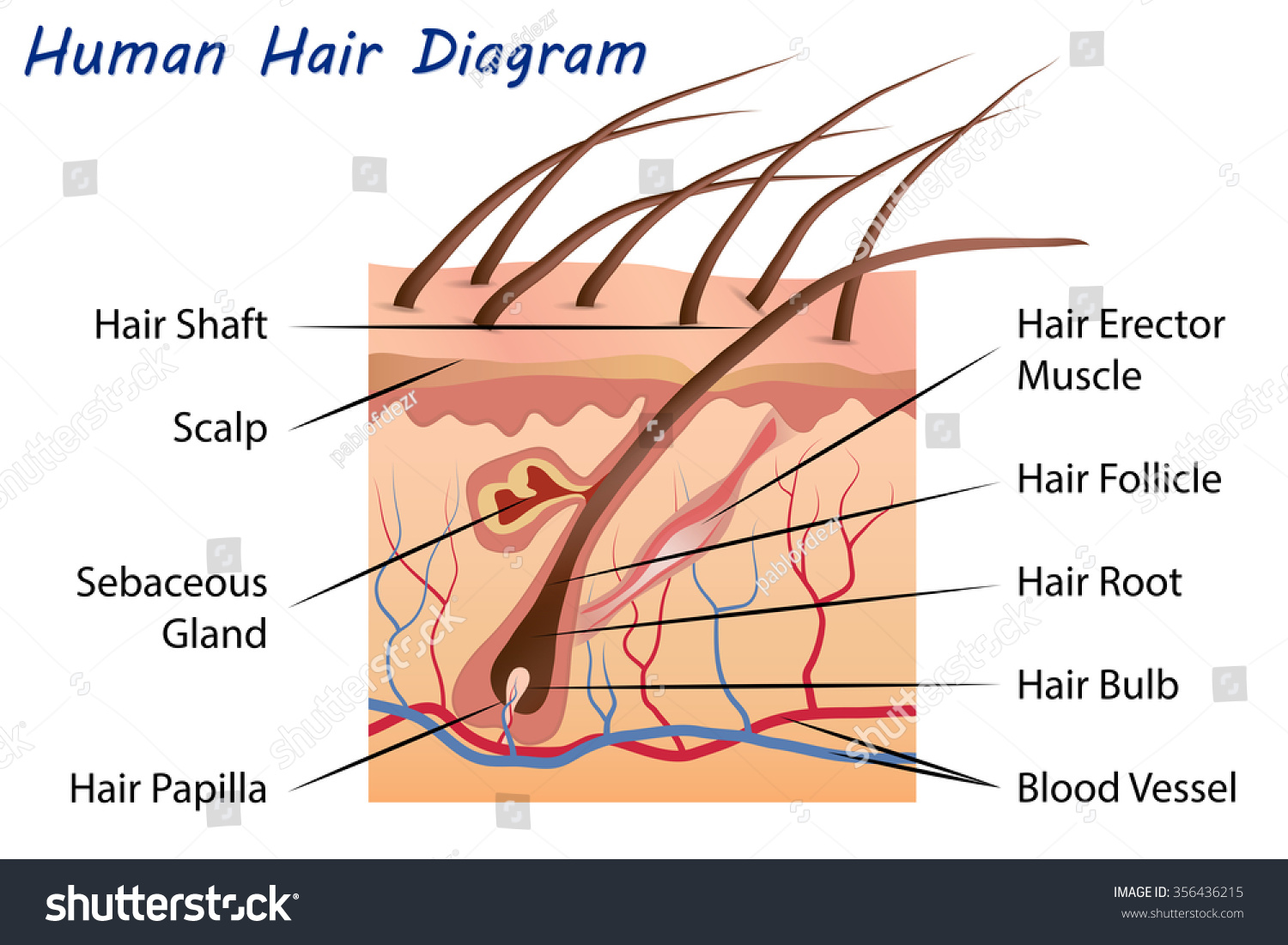 Human Hair Diagram Stock Vector 356436215