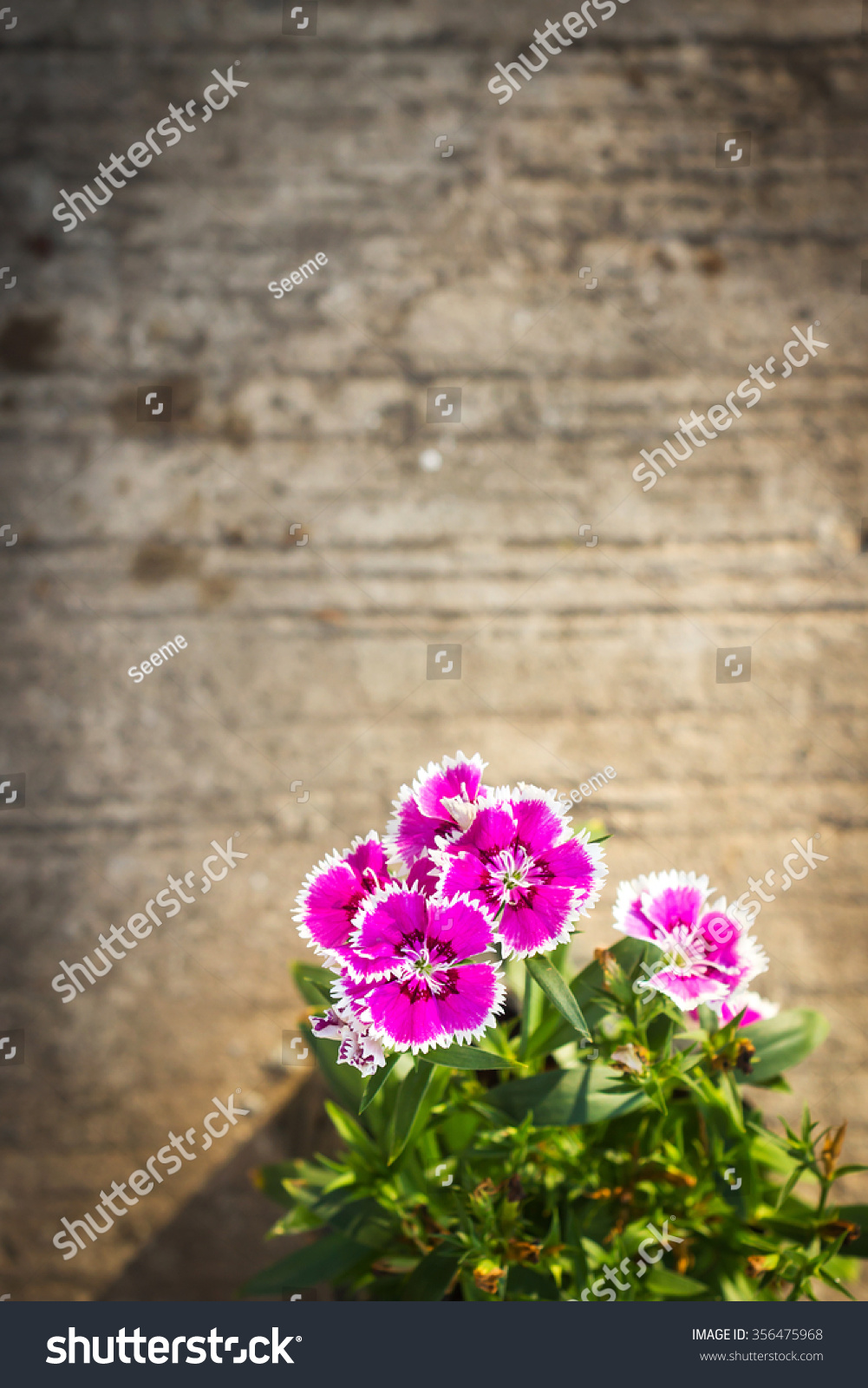 China Pink Indian Pink Flower Cement Stock Photo Edit Now