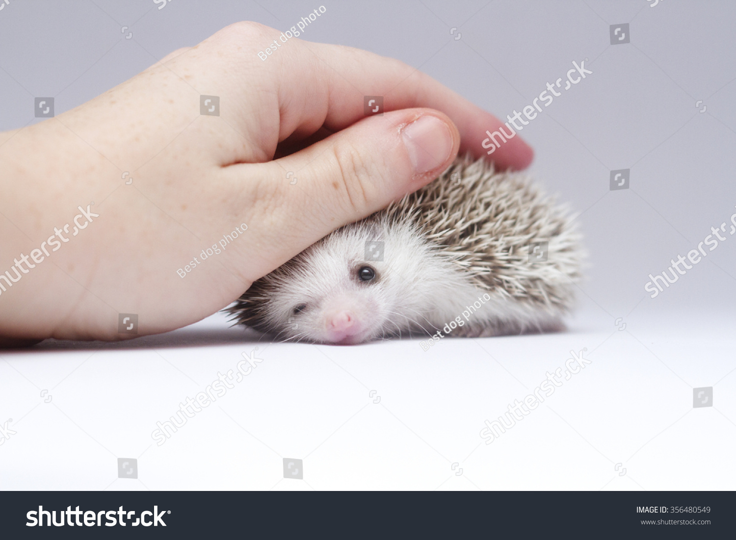 Sensational Young Woman Stroking Cute Small African Pygmy Hedgehog Baby Color Inspirational Interior Design Netriciaus