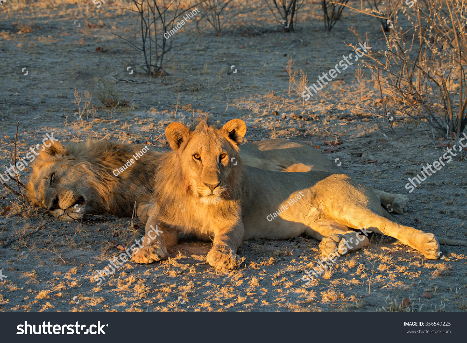 Young aggressive male lion (Panthera leo) with sleeping father at sunset in Etosha National Park, Namibia