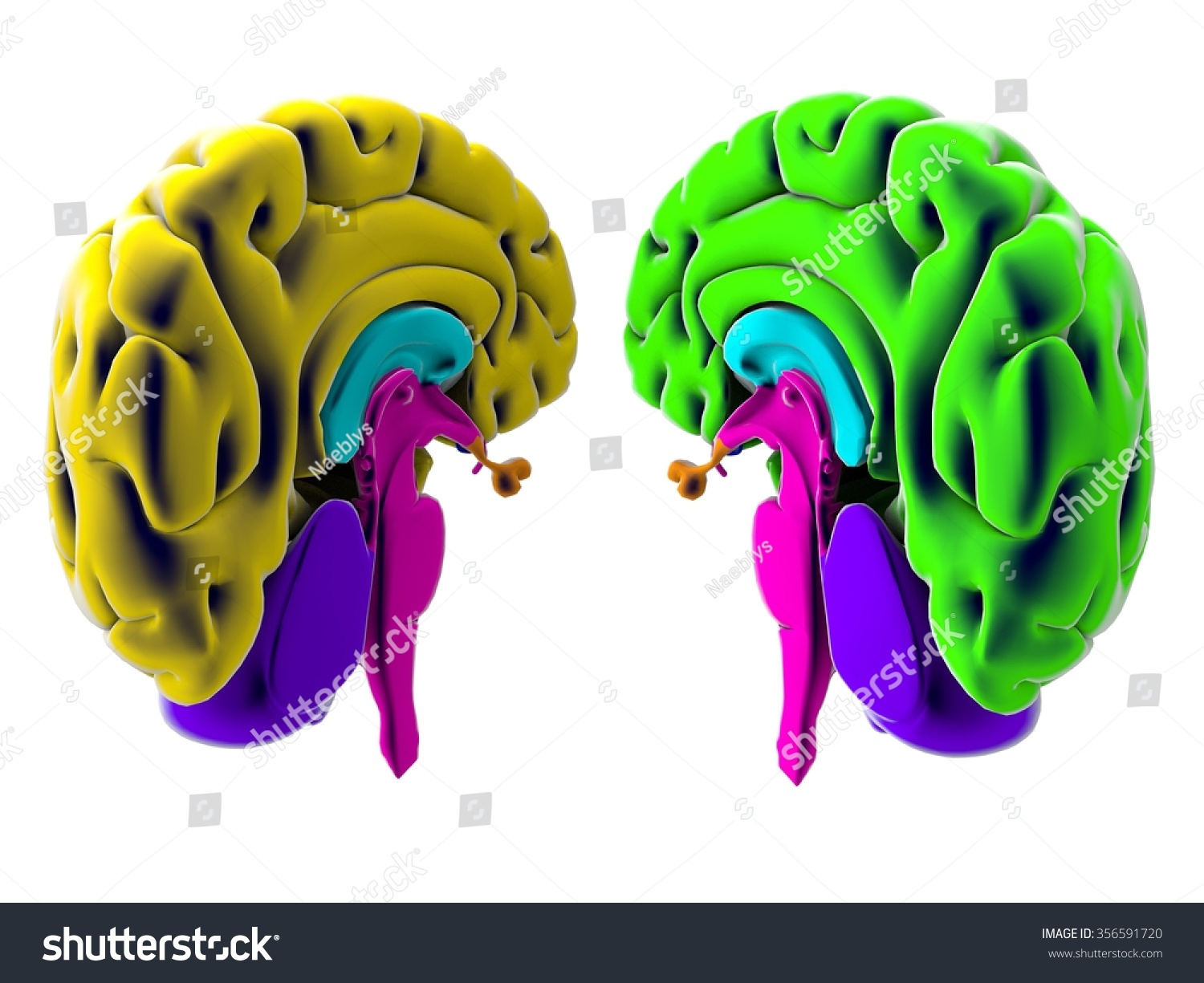 Brain Section Division Cutting Parts Anatomy Stock Illustration ...