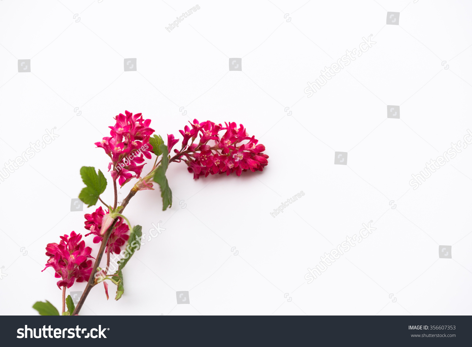 April Blooming Red Flowering Currant On Stock Photo Edit Now
