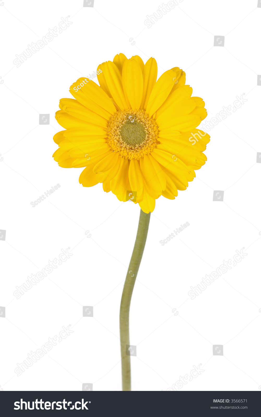 Yellow Gerber Daisy Long Green Stem Stock Photo Edit Now 3566571