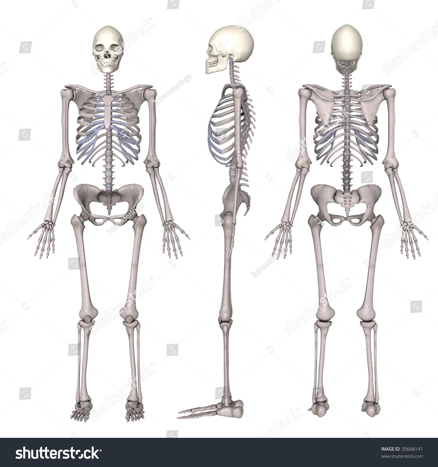 skeletal system The skeletal system contains all the bones and joints in the human body the skeletal system also provides support and protection for the soft tissue that makes up the rest of the body.
