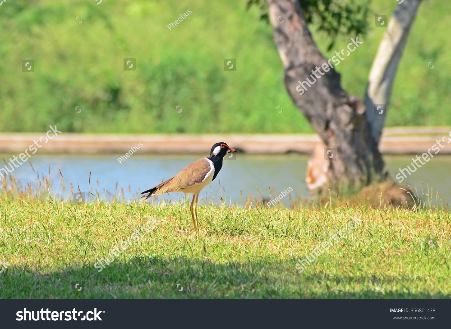 Red-wattled Lapwing bird in park