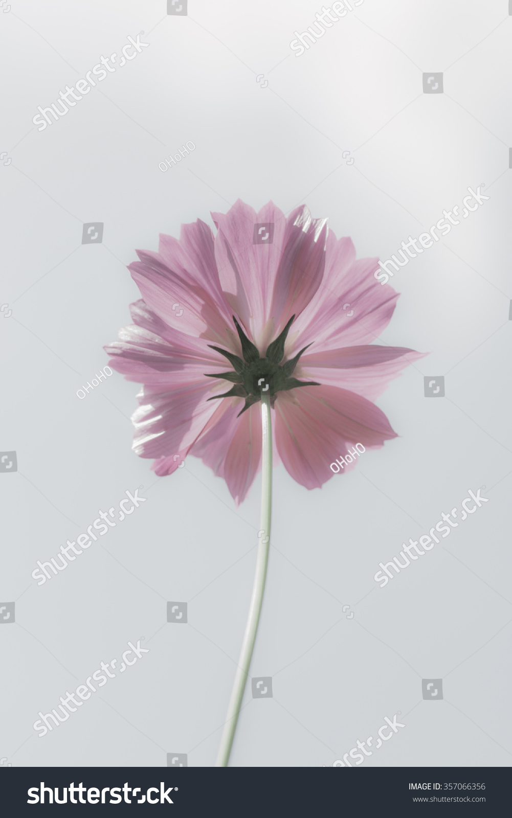 Pink Color Cosmos Flowers Garden Blur Stock Photo 357066356