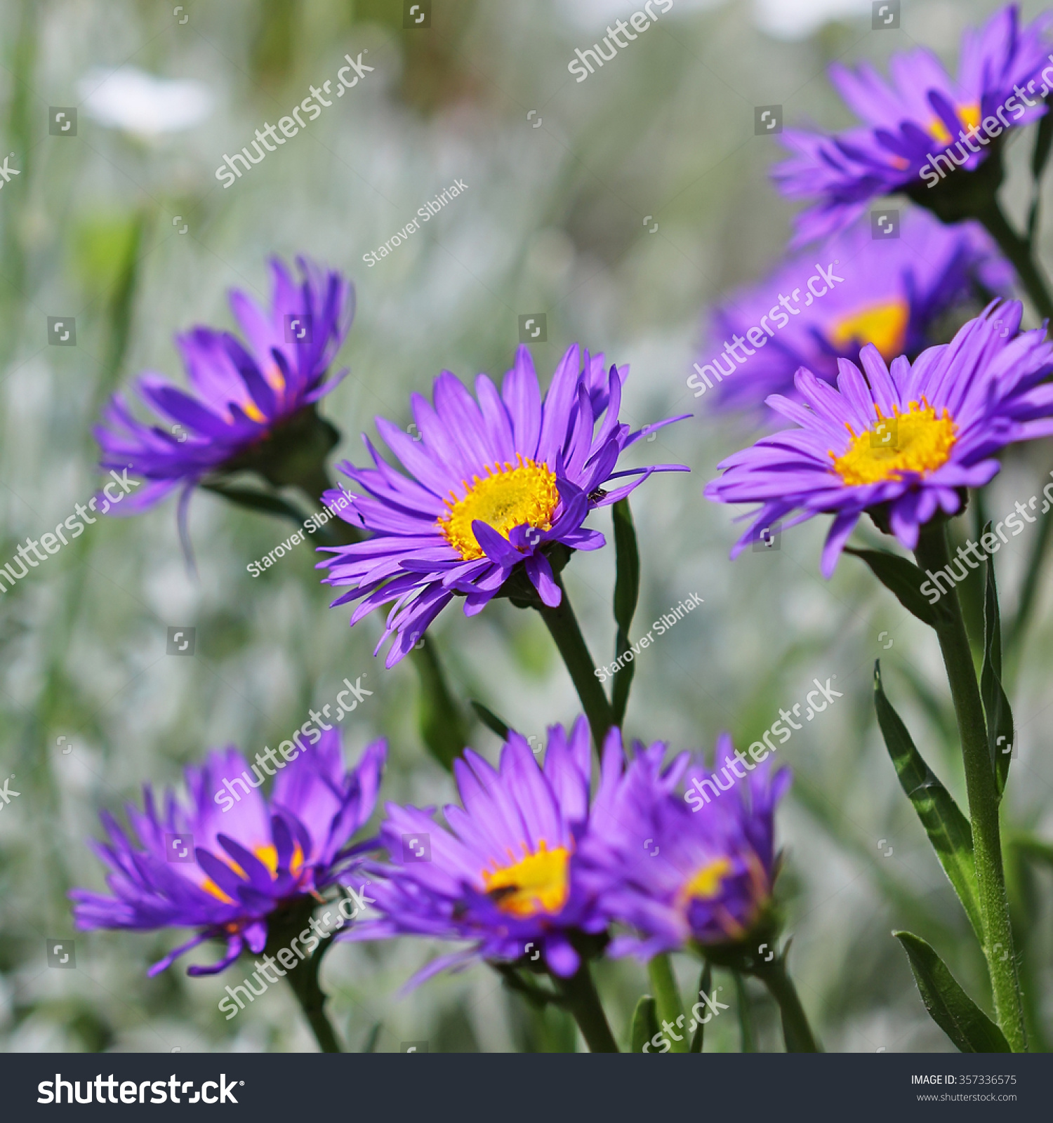 Alpine aster aster alpinus decorative garden stock photo royalty decorative garden plant with blue flowers izmirmasajfo