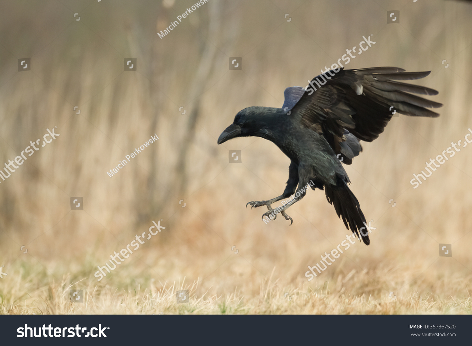 Birds Flying Raven Corvus Corax 357367520