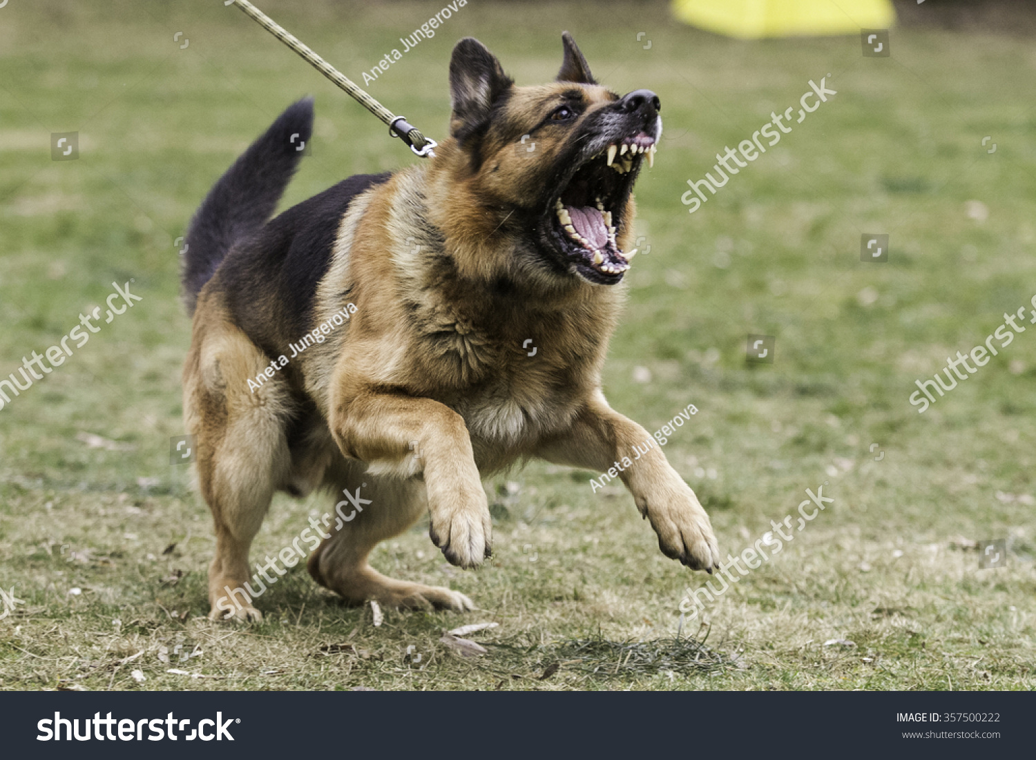 german aggression Find out how to control and stop aggressive behavior in german shepherds aggressive behavior in german shepherds can become a problem that can be avoided.