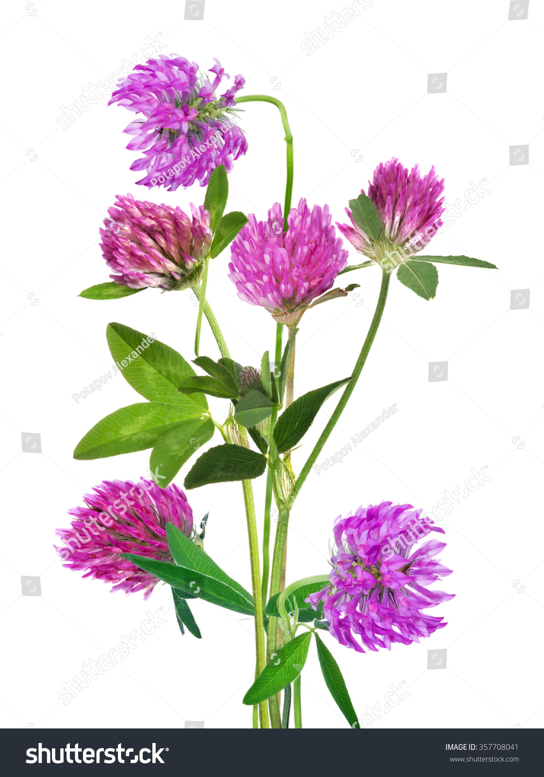 Bunch Of Pink Clover Flower Isolated On White Background Ez Canvas