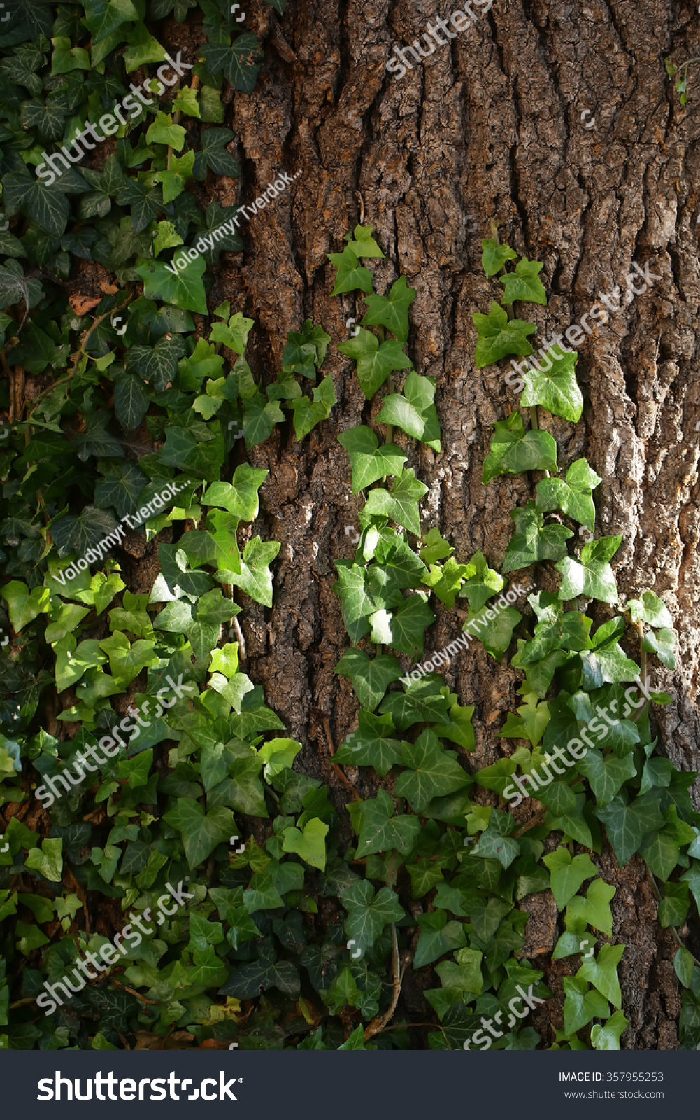 Brown Bark Of Tree Stem Entwine With Green Leaves Of Fresh ...  Brown Bark Of T...